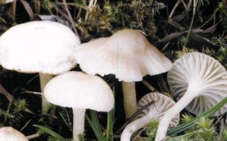 Гигрофор снежно-белый