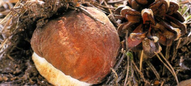 Как быстро растет гриб?