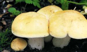 Коварный гриб