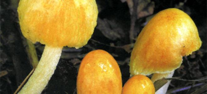 Больбициус желточно-желтый