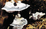 Постия голубовато-серая