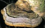 Головные уборы из грибов