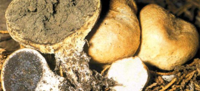 Ложнодождевик красно-коричневатый