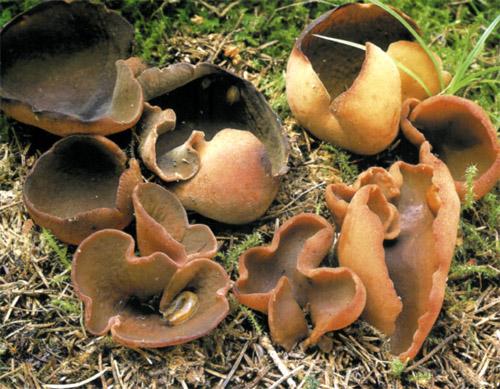 Пезиза коричнево-каштановая