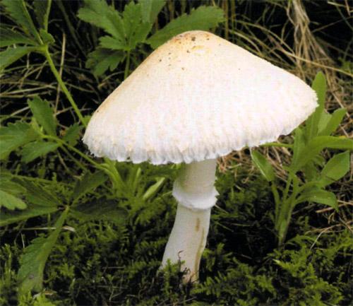Гриб-зонтик белый