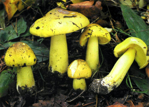 Рядовка желто-зеленая