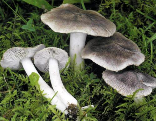 Рядовка землистая атлас грибов