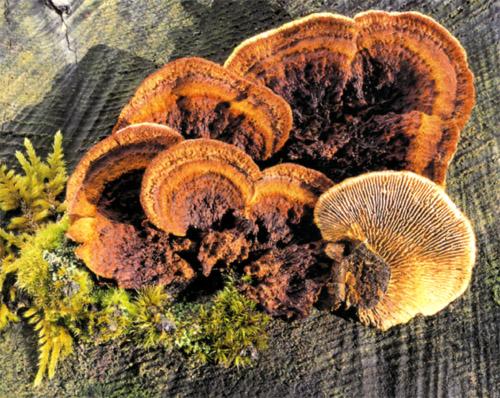 Заборный гриб