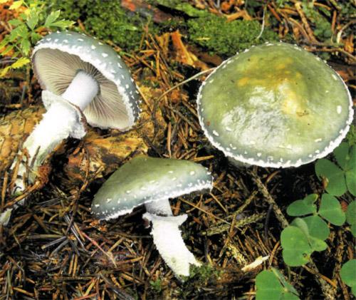 Строфария синевато-зеленая