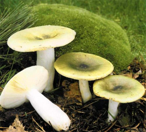 Сыроежка зеленая